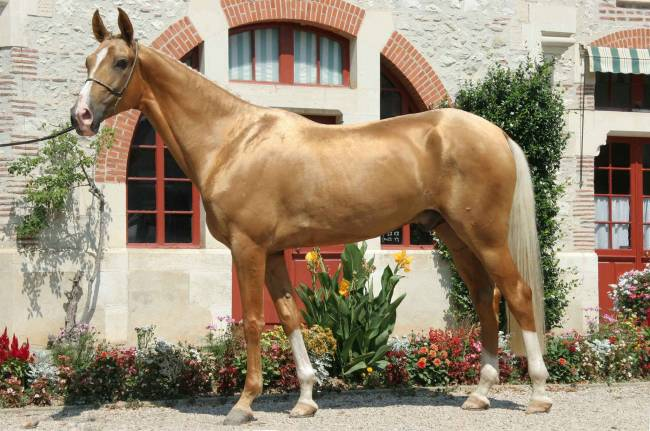 Akhal-Teke golden Metallic Coat