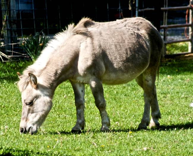 cross between horse and donkey