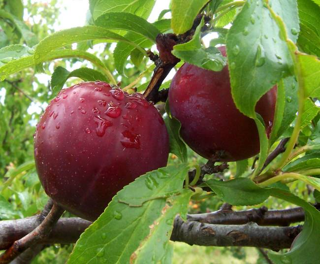 plums horse
